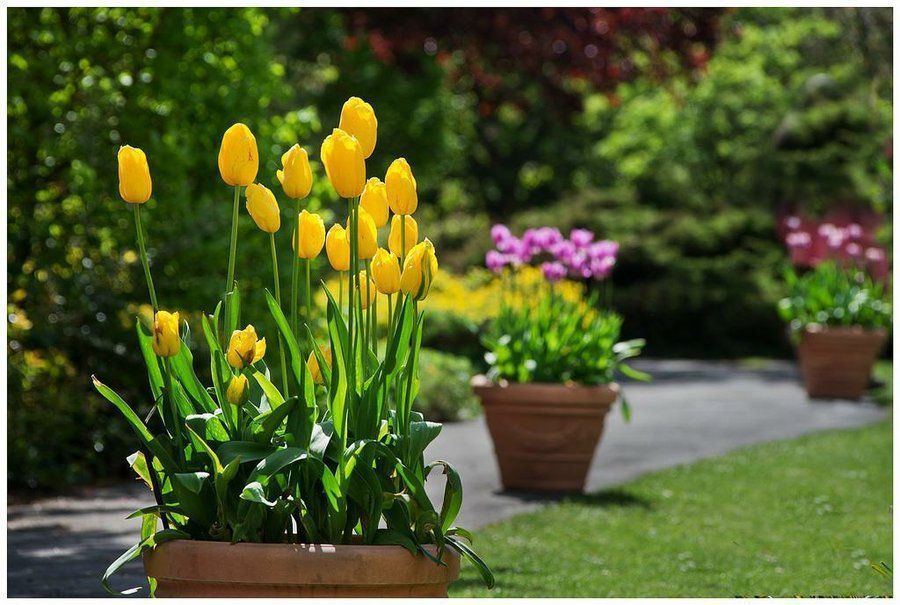 tulipanes holandeses-12