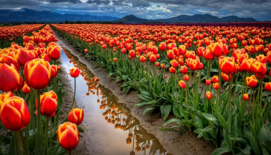 tulipanes holandeses-7