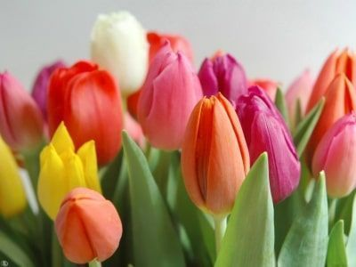 tulipanes holandeses-3